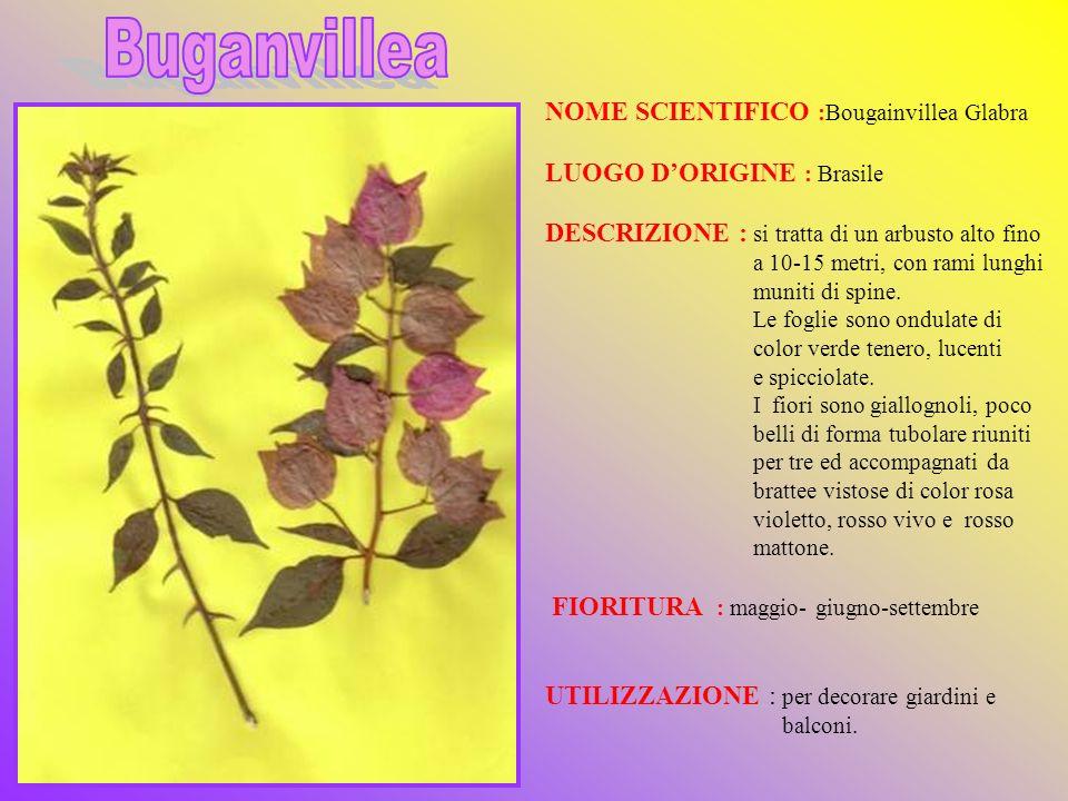 NOME SCIENTIFICO :Bougainvillea Glabra LUOGO DORIGINE : Brasile DESCRIZIONE : si tratta di un arbusto alto fino a 10-15 metri, con rami lunghi muniti