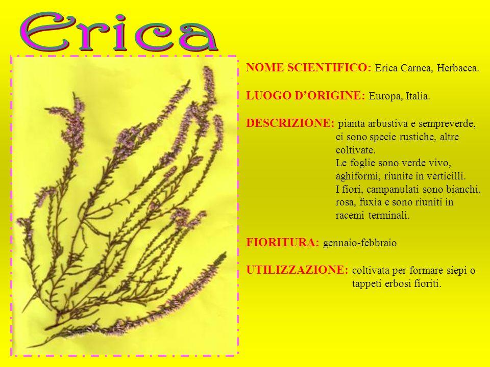 NOME SCIENTIFICO: Erica Carnea, Herbacea. LUOGO DORIGINE: Europa, Italia. DESCRIZIONE: pianta arbustiva e sempreverde, ci sono specie rustiche, altre