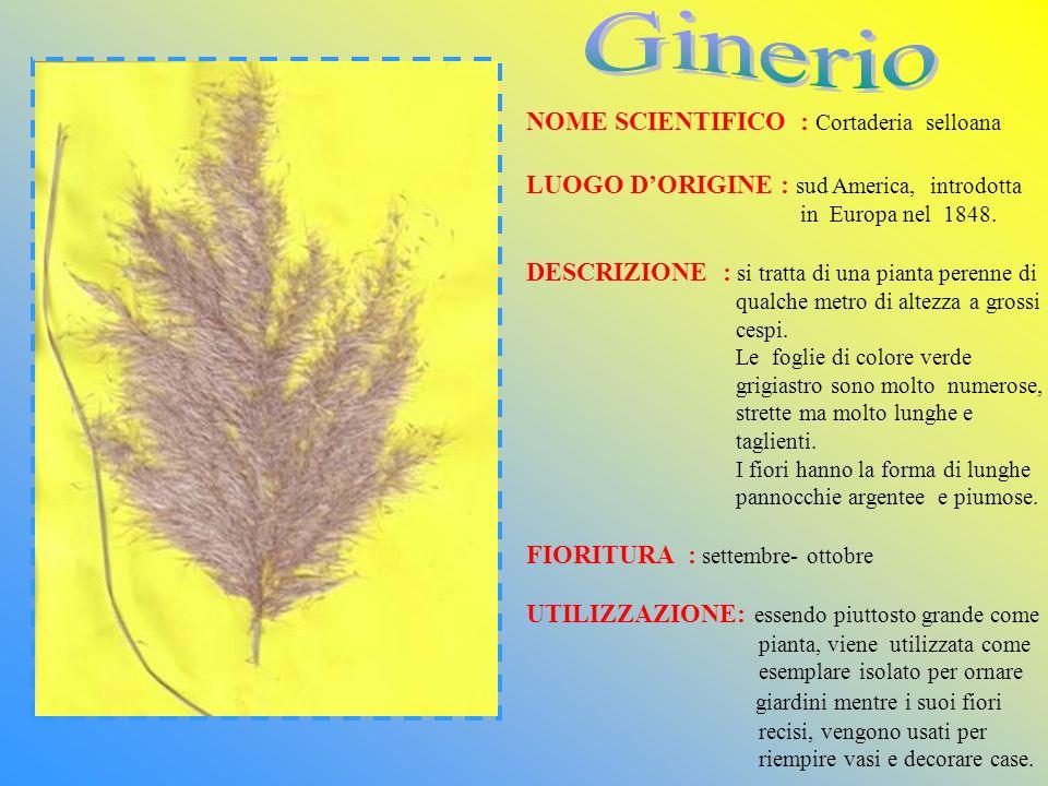 NOME SCIENTIFICO : Cortaderia selloana LUOGO DORIGINE : sud America, introdotta in Europa nel 1848. DESCRIZIONE : si tratta di una pianta perenne di q