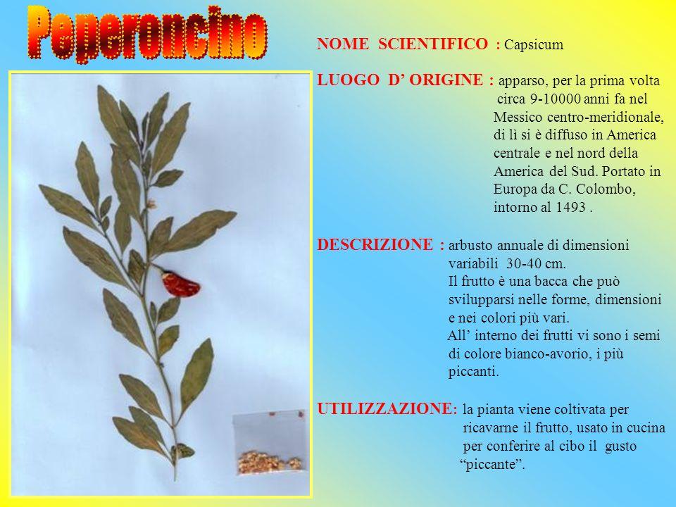 NOME SCIENTIFICO : Lycopersicon Esculentum LUOGO DORIGINE: Cile ed Ecuador DESCRIZIONE : la pianta normalmente raggiunge i 2 m.di altezza.