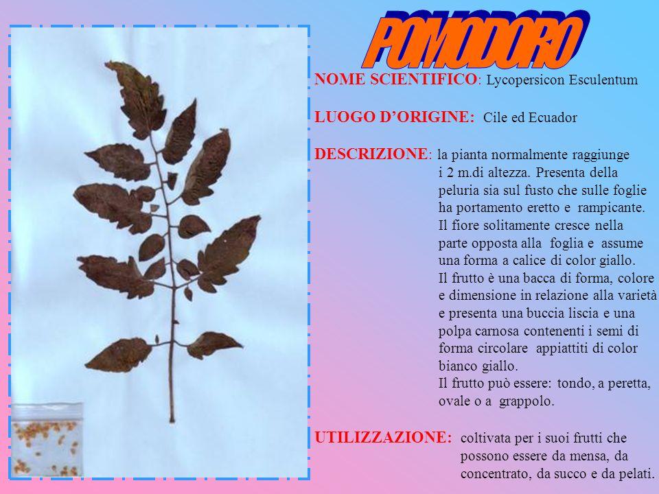 NOME SCIENTIFICO : Lycopersicon Esculentum LUOGO DORIGINE: Cile ed Ecuador DESCRIZIONE : la pianta normalmente raggiunge i 2 m.di altezza. Presenta de