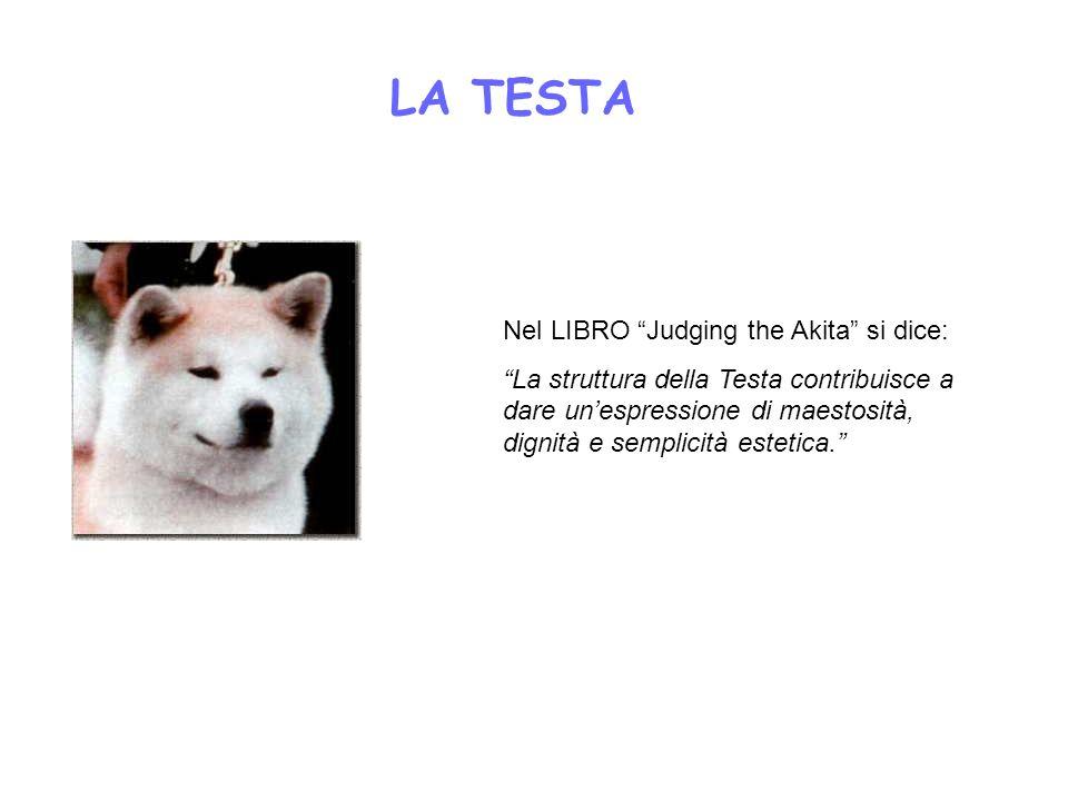 LA TESTA Nel LIBRO Judging the Akita si dice: La struttura della Testa contribuisce a dare unespressione di maestosità, dignità e semplicità estetica.