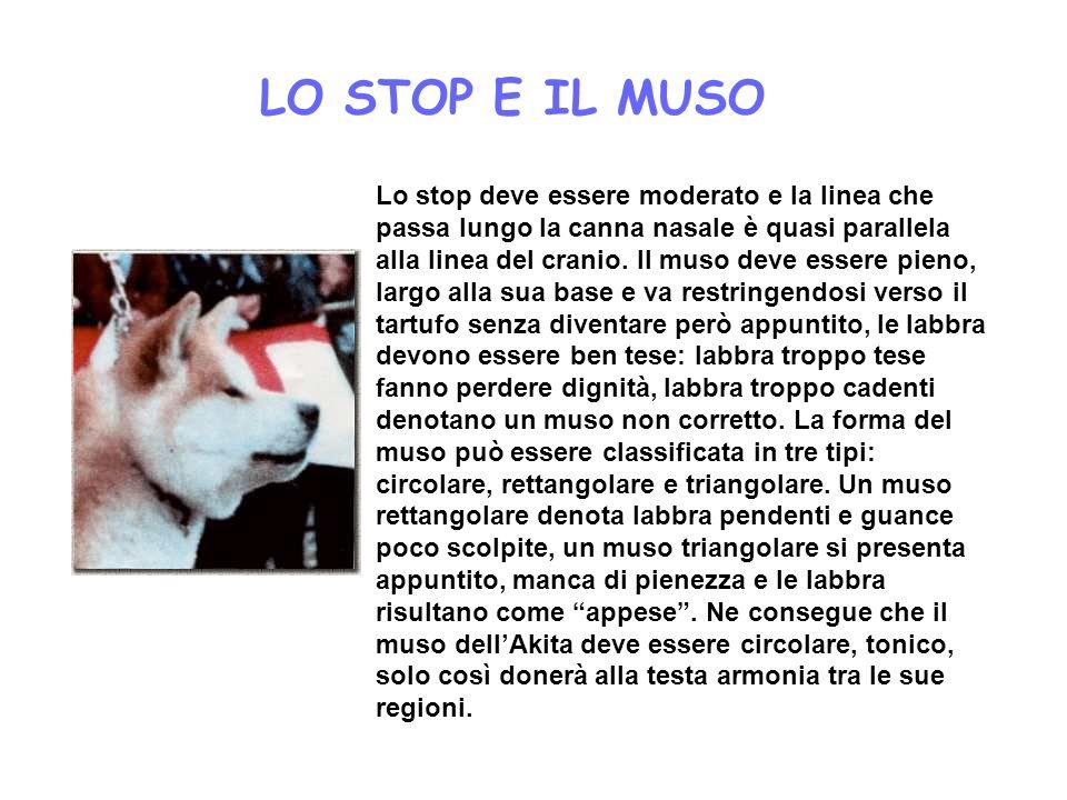 LO STOP E IL MUSO Lo stop deve essere moderato e la linea che passa lungo la canna nasale è quasi parallela alla linea del cranio. Il muso deve essere