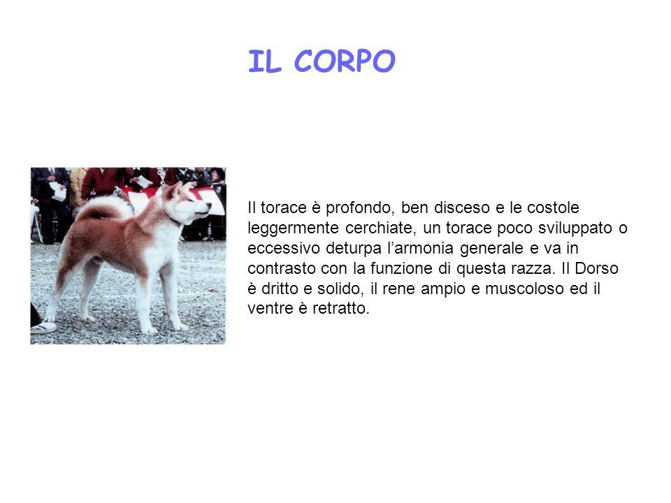 IL CORPO Il torace è profondo, ben disceso e le costole leggermente cerchiate, un torace poco sviluppato o eccessivo deturpa larmonia generale e va in
