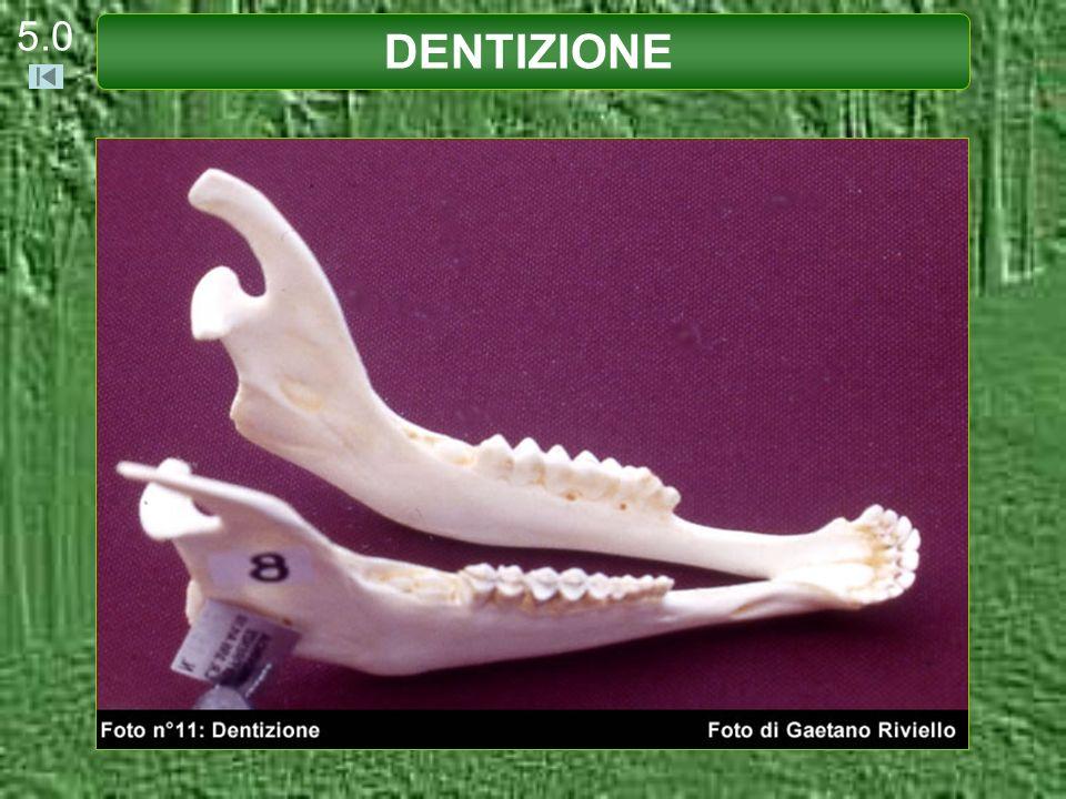 In questa mandibola sono presenti nella tavola masticatoria: DENTIZIONE 5.21 p1 - p2 - p3 M1 presente M2 sta per spuntare M3 assente Età stimata del Capriolo: 3 - 4 mesi.