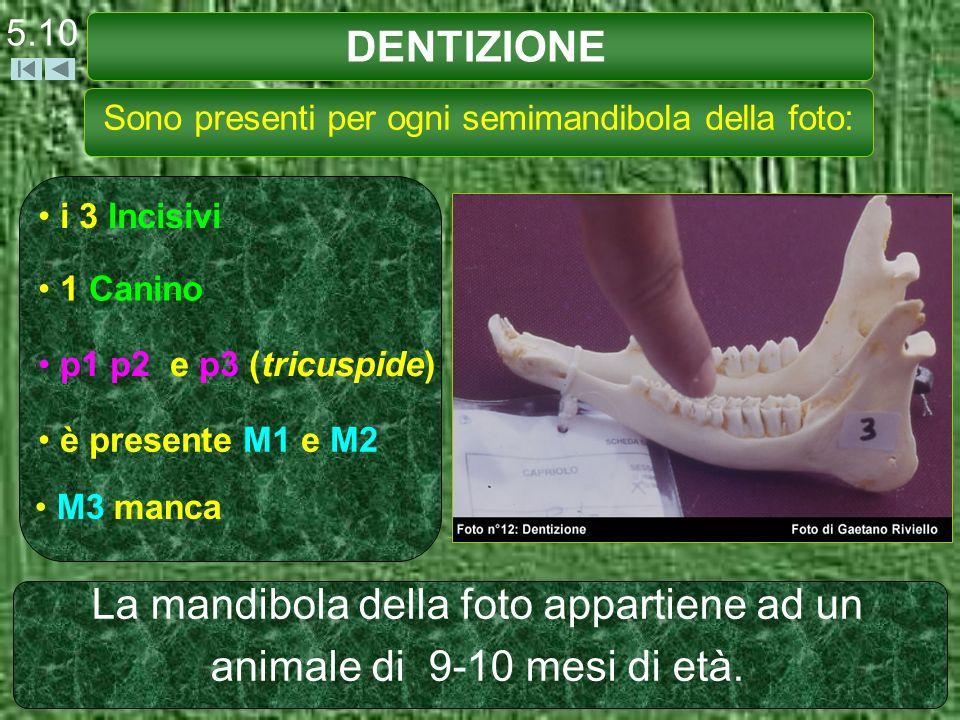 DENTIZIONE 5.10 Sono presenti per ogni semimandibola della foto: i 3 Incisivi 1 Canino p1 p2 e p3 (tricuspide) è presente M1 e M2 M3 manca La mandibol