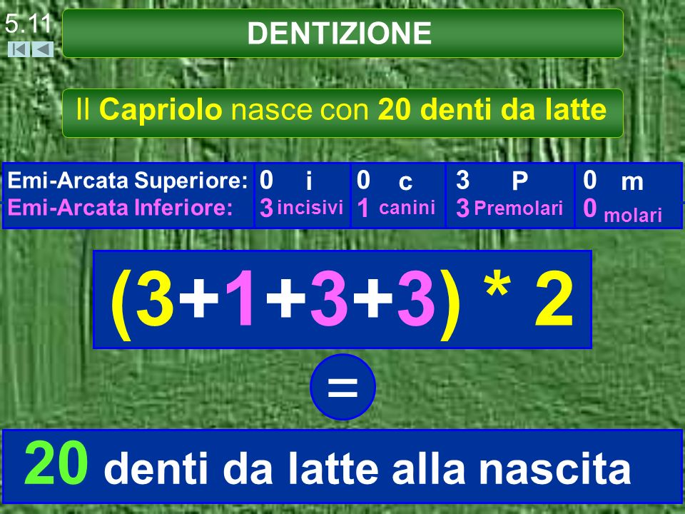 DENTIZIONE 5.11 Il Capriolo nasce con 20 denti da latte Emi-Arcata Superiore: Emi-Arcata Inferiore: 0 3 i incisivi 0 1 c canini 3 3 P Premolari 0 0 m