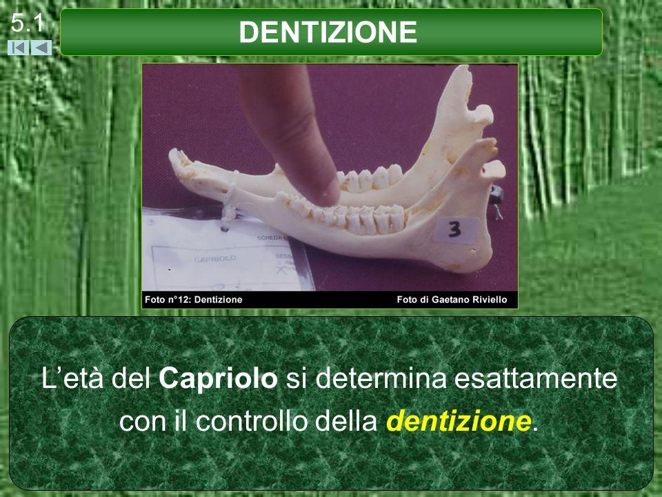 Letà del Capriolo si determina esattamente con il controllo della dentizione. DENTIZIONE 5.1