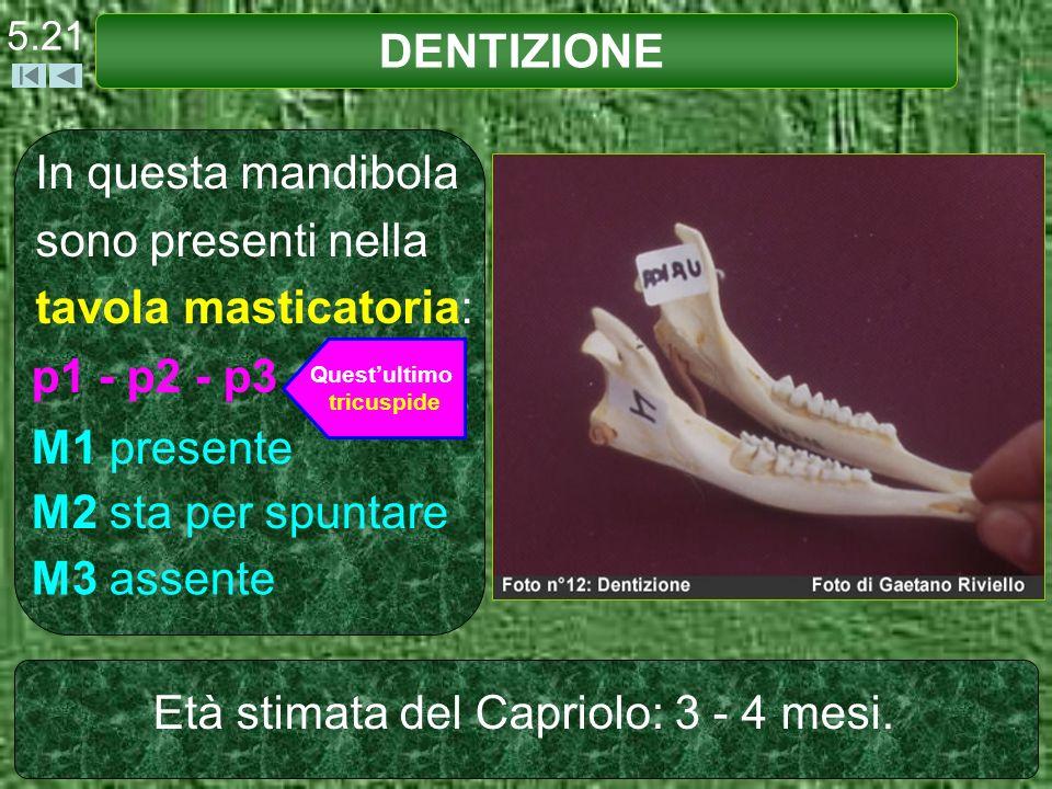 In questa mandibola sono presenti nella tavola masticatoria: DENTIZIONE 5.21 p1 - p2 - p3 M1 presente M2 sta per spuntare M3 assente Età stimata del C