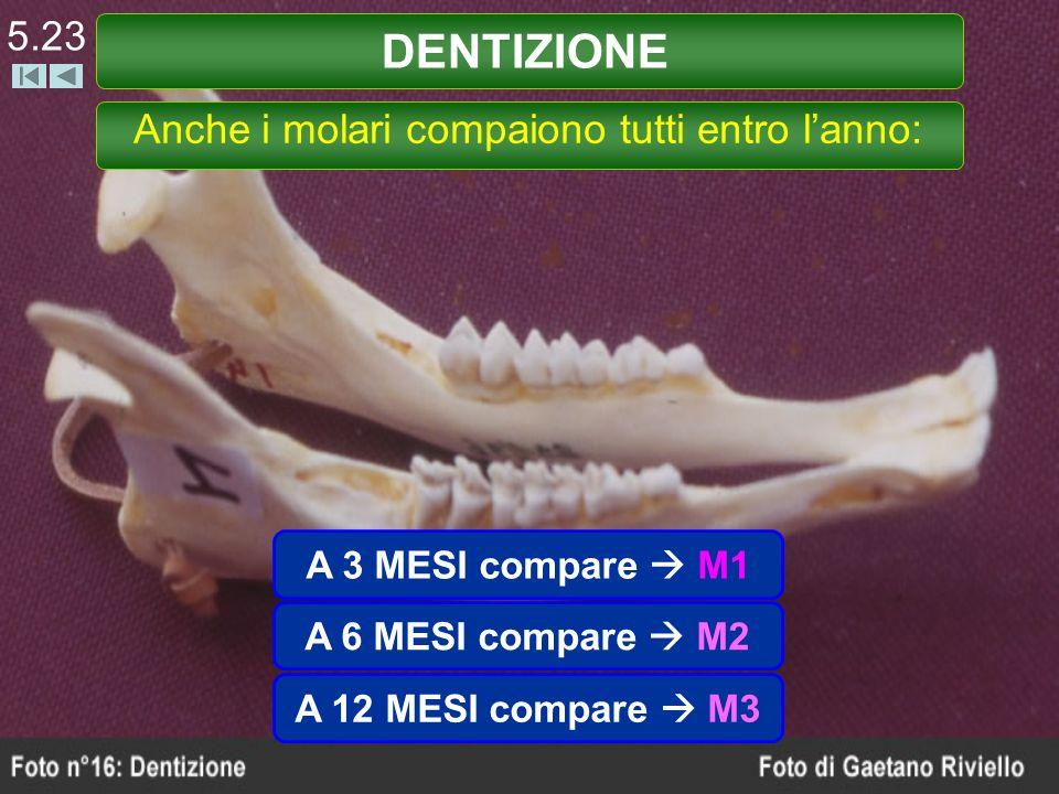 A 3 MESI compare M1 DENTIZIONE 5.23 Anche i molari compaiono tutti entro lanno: A 6 MESI compare M2 A 12 MESI compare M3