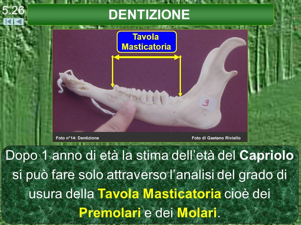 DENTIZIONE 5.26 Tavola Masticatoria Dopo 1 anno di età la stima delletà del Capriolo si può fare solo attraverso lanalisi del grado di usura della Tav