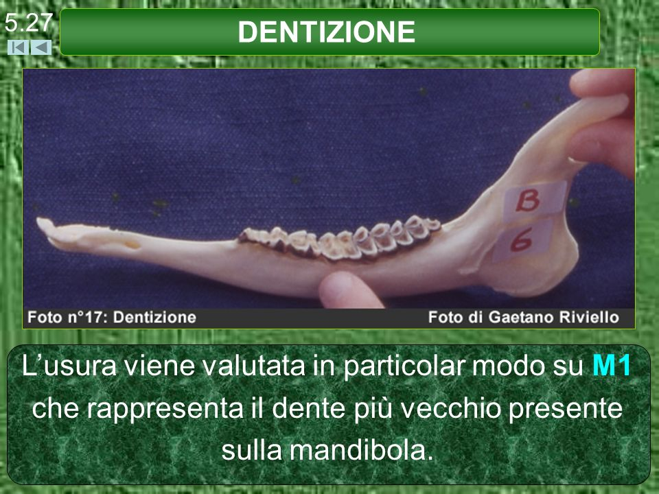 DENTIZIONE 5.27 Lusura viene valutata in particolar modo su M1 che rappresenta il dente più vecchio presente sulla mandibola.