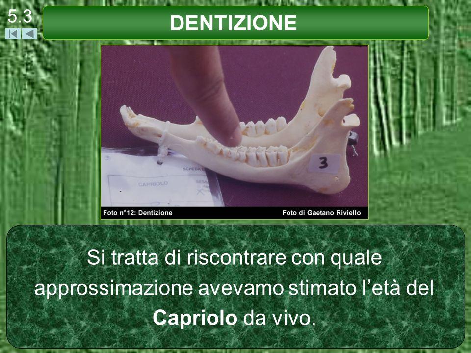 DENTIZIONE 5.14 Il Capriolo ad 1 anno ha 32 denti: Emi-Arcata Superiore: Emi-Arcata Inferiore: 0 3 I Incisivi 0 1 C Canini 3 3 PR Premolari 3 3 M Molari (3+3+3+1+3+3) * 2 32 denti del Capriolo a 1 anno di età.