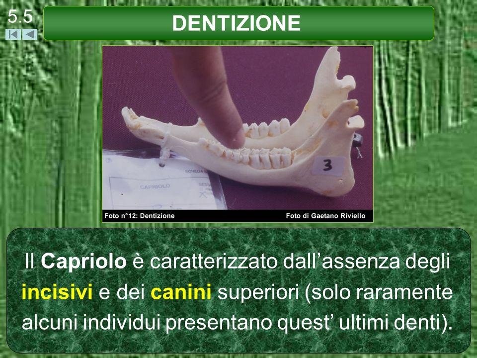 Il Capriolo è caratterizzato dallassenza degli incisivi e dei canini superiori (solo raramente alcuni individui presentano quest ultimi denti). DENTIZ