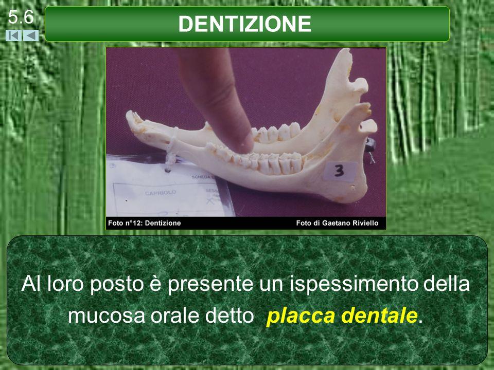 Al loro posto è presente un ispessimento della mucosa orale detto placca dentale. DENTIZIONE 5.6