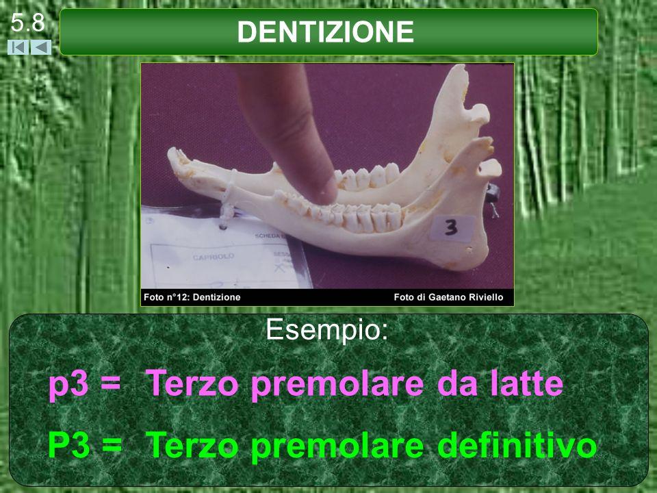Nella foto viene indicato il p3 = terzo premolare da latte (tricuspide). DENTIZIONE 5.9