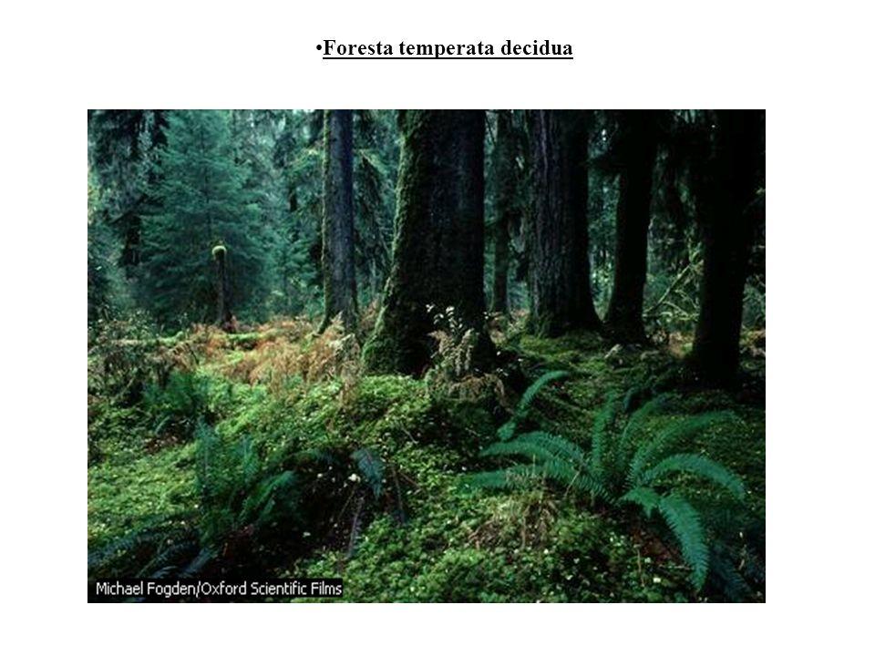 Foresta temperata decidua