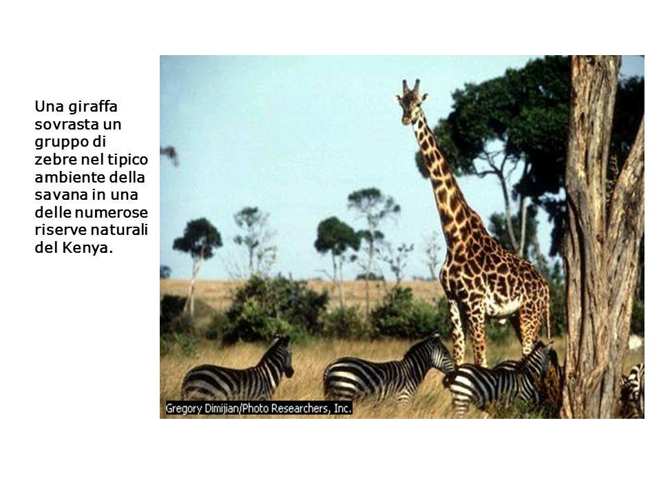 Una giraffa sovrasta un gruppo di zebre nel tipico ambiente della savana in una delle numerose riserve naturali del Kenya.