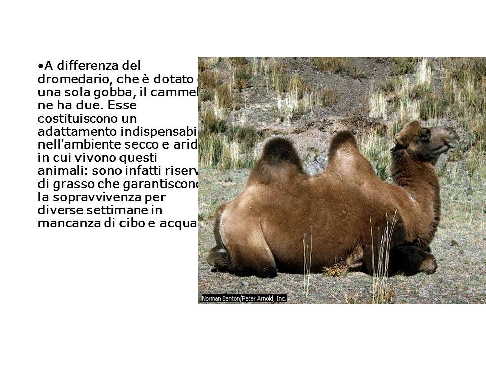 A differenza del dromedario, che è dotato di una sola gobba, il cammello ne ha due. Esse costituiscono un adattamento indispensabile nell'ambiente sec