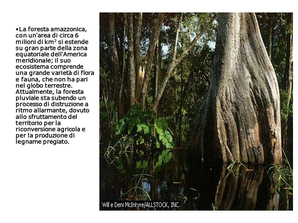 La foresta amazzonica, con un'area di circa 6 milioni di km 2 si estende su gran parte della zona equatoriale dell'America meridionale; il suo ecosist