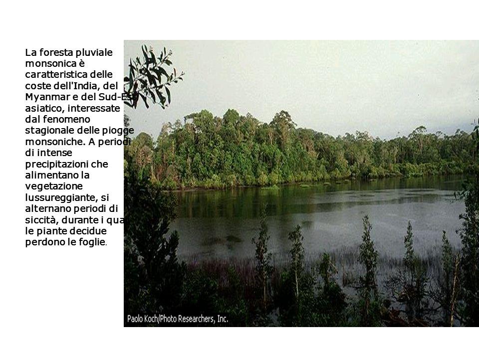 La foresta pluviale monsonica è caratteristica delle coste dell'India, del Myanmar e del Sud-Est asiatico, interessate dal fenomeno stagionale delle p