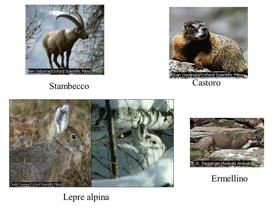 Lepre alpina Ermellino Castoro Stambecco