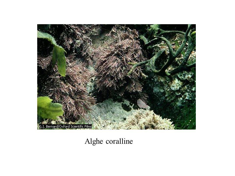 Alghe coralline