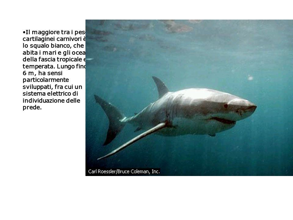 Il maggiore tra i pesci cartilaginei carnivori è lo squalo bianco, che abita i mari e gli oceani della fascia tropicale e temperata. Lungo fino a 6 m,