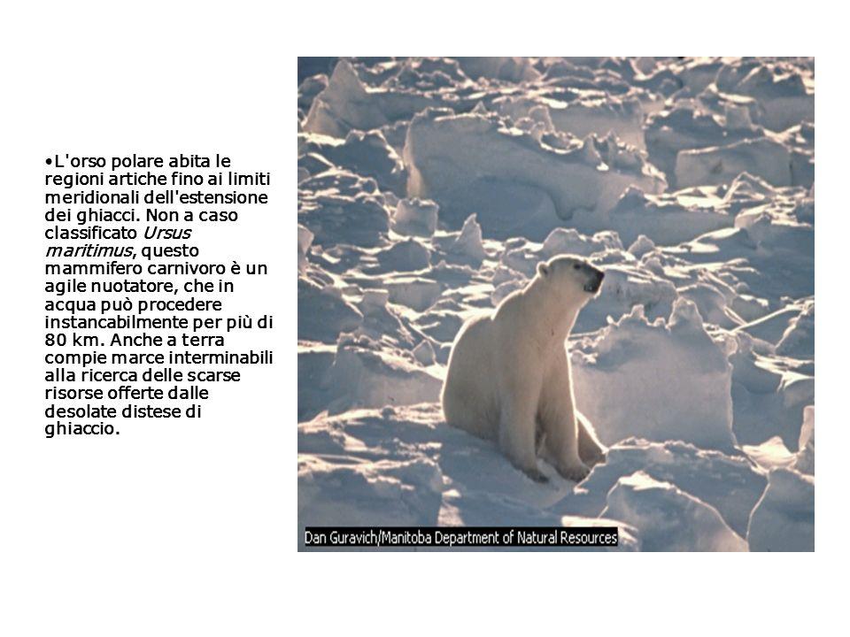 L'orso polare abita le regioni artiche fino ai limiti meridionali dell'estensione dei ghiacci. Non a caso classificato Ursus maritimus, questo mammife