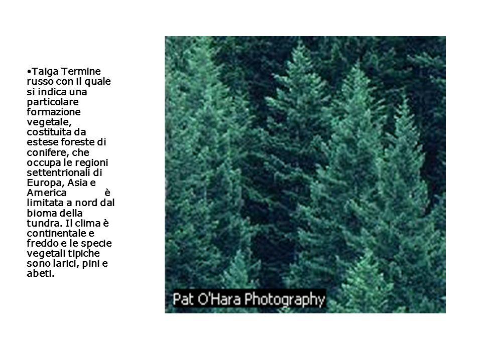 Taiga Termine russo con il quale si indica una particolare formazione vegetale, costituita da estese foreste di conifere, che occupa le regioni setten