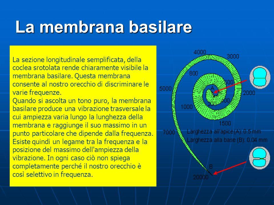 La membrana basilare La sezione longitudinale semplificata, della coclea srotolata rende chiaramente visibile la membrana basilare. Questa membrana co