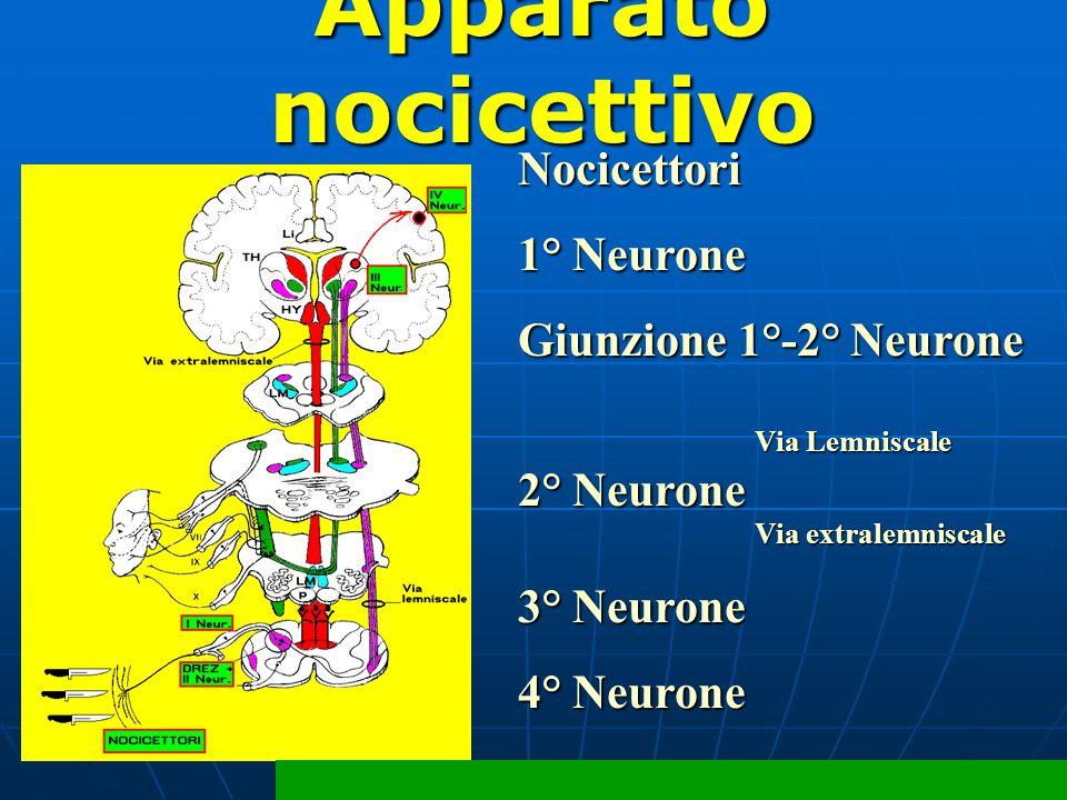 Nocicettori 1° Neurone Giunzione 1°-2° Neurone Via Lemniscale Via Lemniscale 2° Neurone Via extralemniscale Via extralemniscale 3° Neurone 4° Neurone