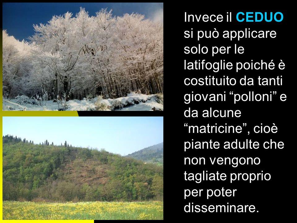 Per ALTO FUSTO sintende quella forma di governo che prevede la rinnovazione del bosco esclusivamente grazie al seme. E chiaramente lunico metodo che s