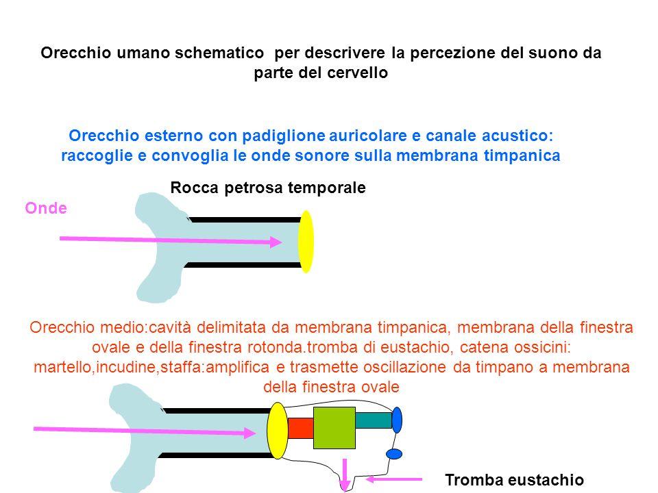 Orecchio umano schematico per descrivere la percezione del suono da parte del cervello Orecchio esterno con padiglione auricolare e canale acustico: r