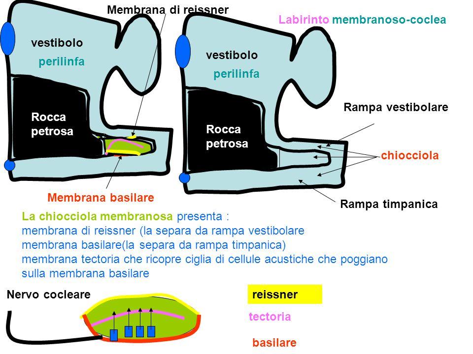 vestibolo Rampa vestibolare Rampa timpanica perilinfa Rocca petrosa chiocciola vestibolo perilinfa Rocca petrosa La chiocciola membranosa presenta : m