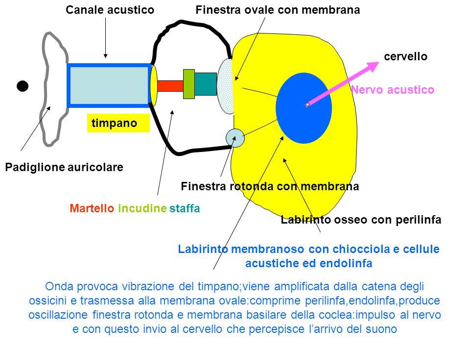 cervello Nervo acustico Canale acustico Padiglione auricolare timpano Martello incudine staffa Finestra ovale con membrana Finestra rotonda con membra