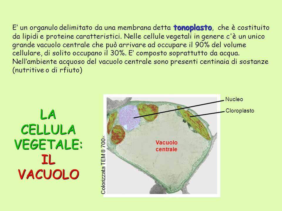 Cloroplasto Vacuolo centrale Nucleo Colorizzata TEM 8 700 LA CELLULA VEGETALE: IL VACUOLO tonoplasto E un organulo delimitato da una membrana detta to