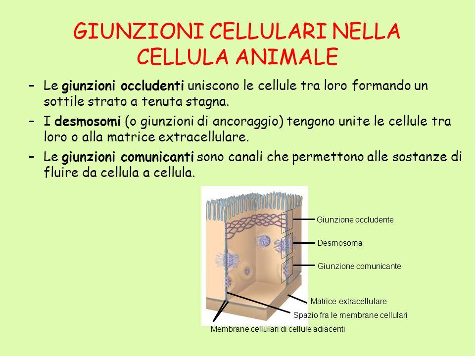 GIUNZIONI CELLULARI NELLA CELLULA ANIMALE –Le giunzioni occludenti uniscono le cellule tra loro formando un sottile strato a tenuta stagna. –I desmoso