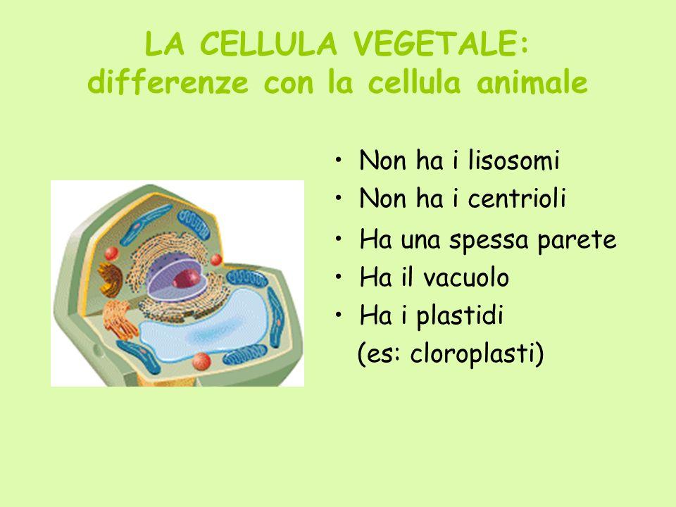 LA CELLULA VEGETALE: differenze con la cellula animale Non ha i lisosomi Non ha i centrioli Ha una spessa parete Ha il vacuolo Ha i plastidi (es: clor