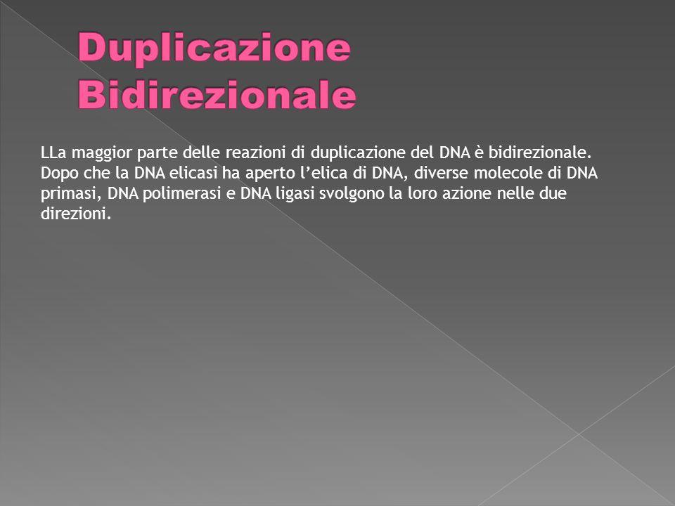 LLa maggior parte delle reazioni di duplicazione del DNA è bidirezionale.