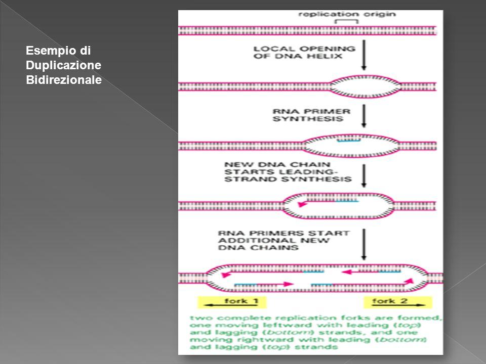 Esempio di Duplicazione Bidirezionale