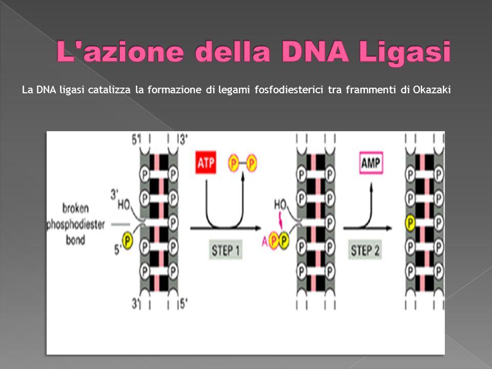 La DNA ligasi catalizza la formazione di legami fosfodiesterici tra frammenti di Okazaki