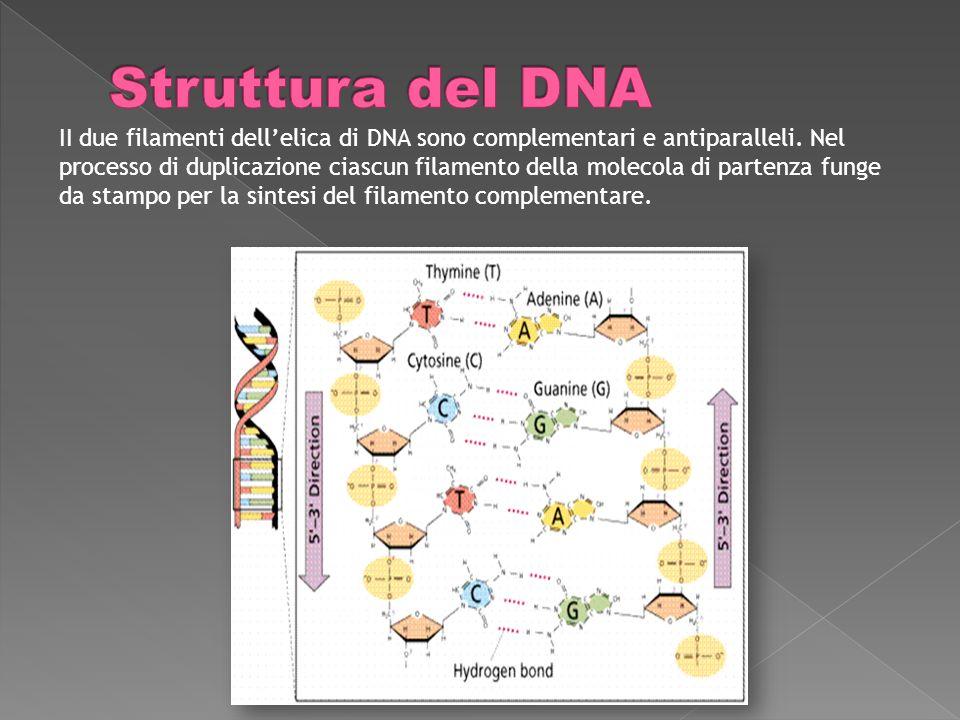 II due filamenti dellelica di DNA sono complementari e antiparalleli.