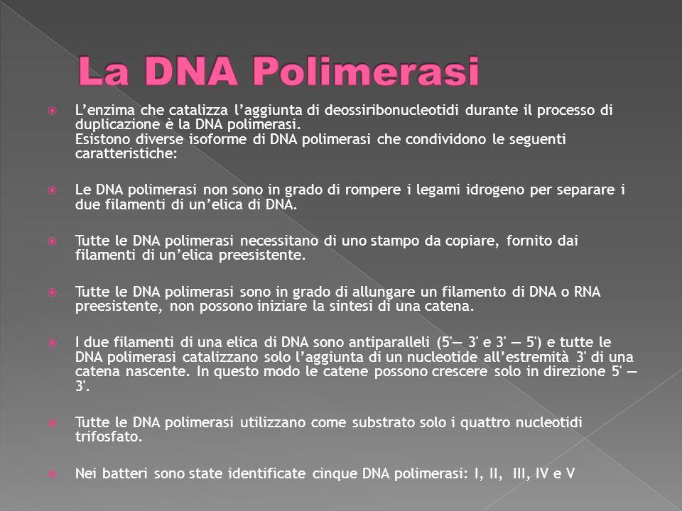 Lenzima che catalizza laggiunta di deossiribonucleotidi durante il processo di duplicazione è la DNA polimerasi.