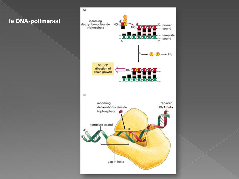 la DNA-polimerasi