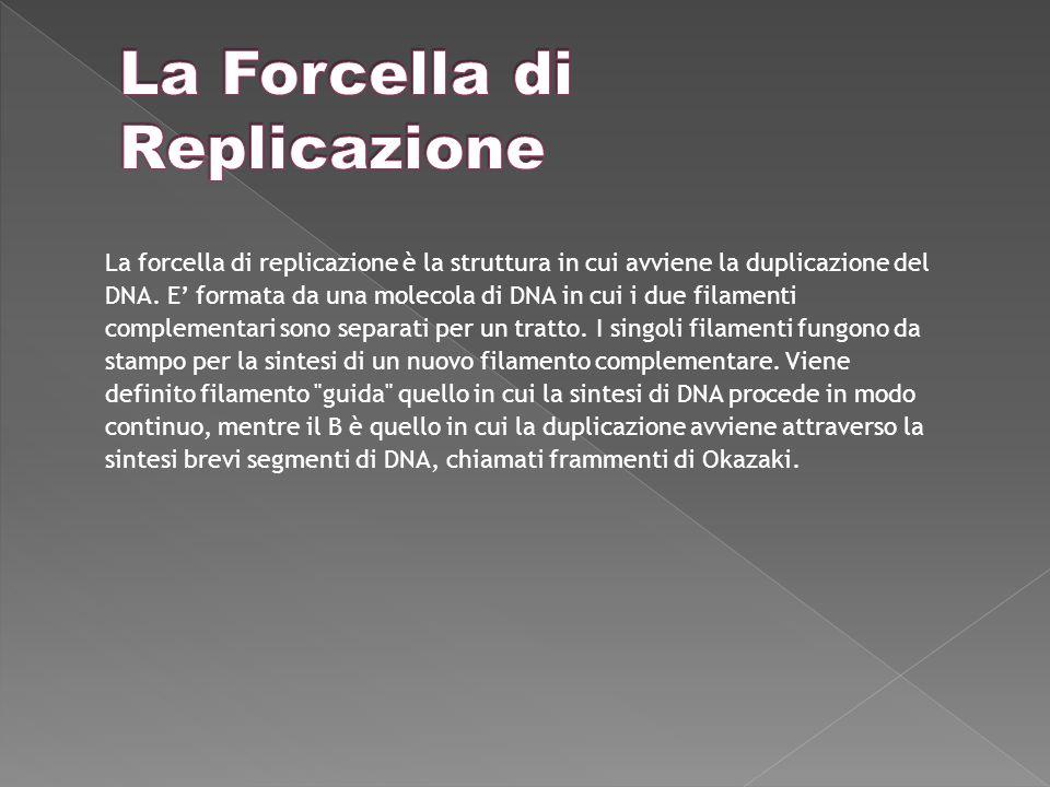 La forcella di replicazione è la struttura in cui avviene la duplicazione del DNA.