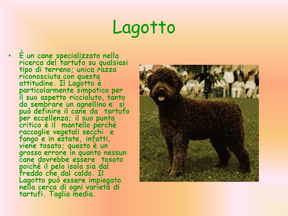 Lagotto È un cane specializzato nella ricerca del tartufo su qualsiasi tipo di terreno; unica razza riconosciuta con questa attitudine. Il Lagotto è p