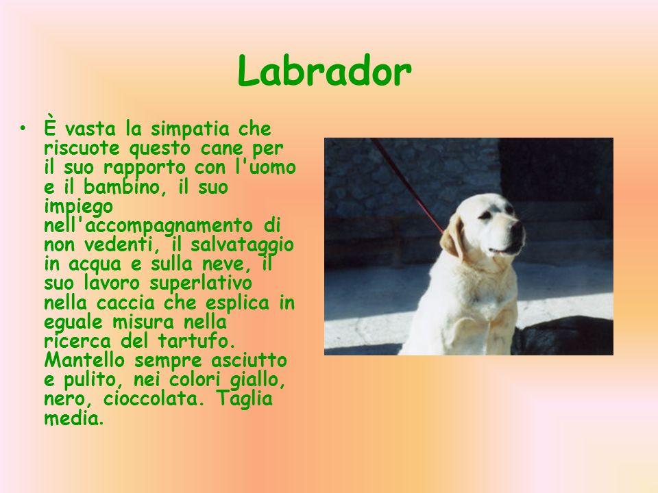 Labrador È vasta la simpatia che riscuote questo cane per il suo rapporto con l'uomo e il bambino, il suo impiego nell'accompagnamento di non vedenti,