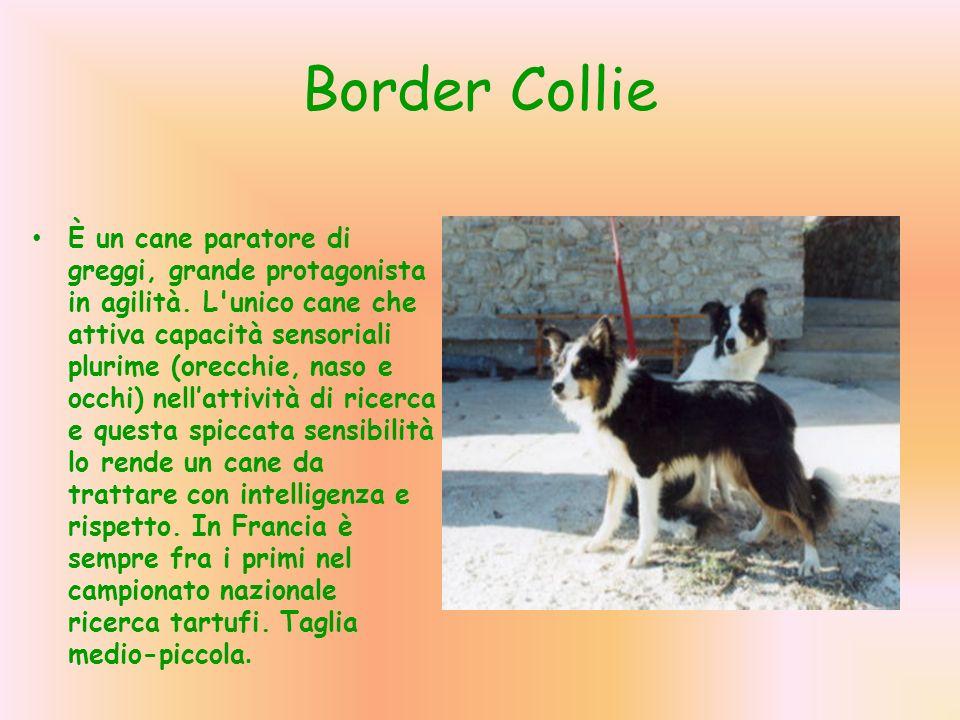 Border Collie È un cane paratore di greggi, grande protagonista in agilità. L'unico cane che attiva capacità sensoriali plurime (orecchie, naso e occh