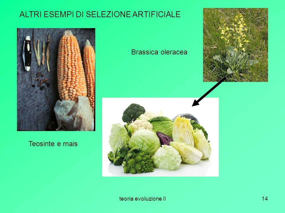 teoria evoluzione II14 ALTRI ESEMPI DI SELEZIONE ARTIFICIALE Teosinte e mais Brassica oleracea